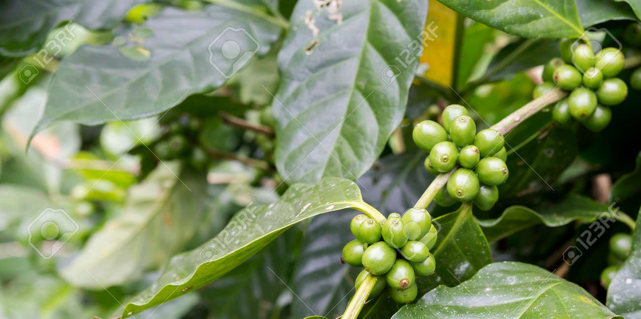 Fresh Green Coffee Beans On Coffee Tree Banner Style Outdoor