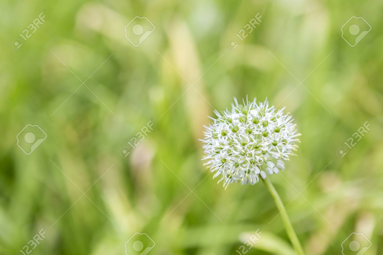 Spring Onion Flower Over Blurred Green Garden Background Natural