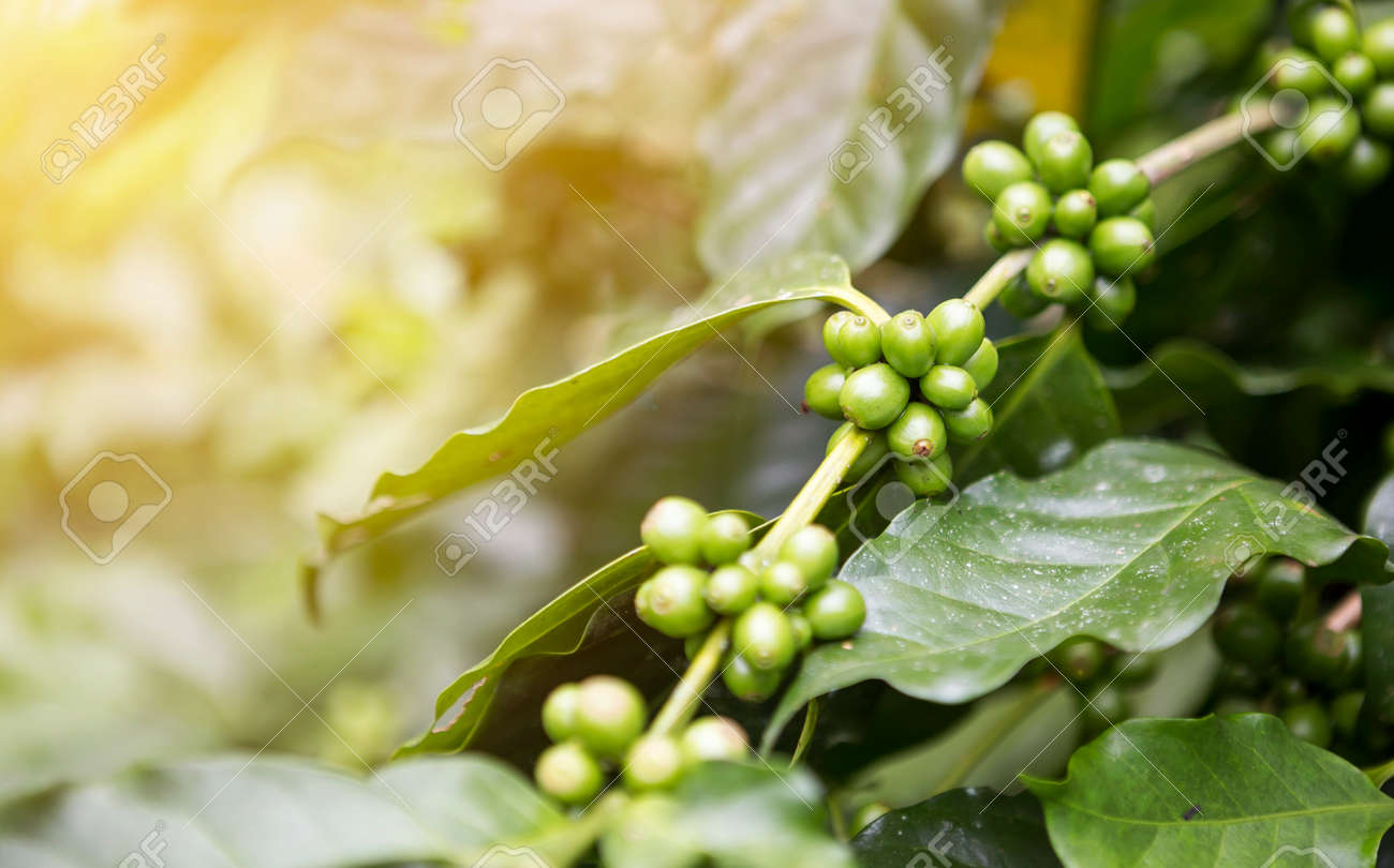 Green Coffee Beans Selective Focuse Coffee Plant With Vintage