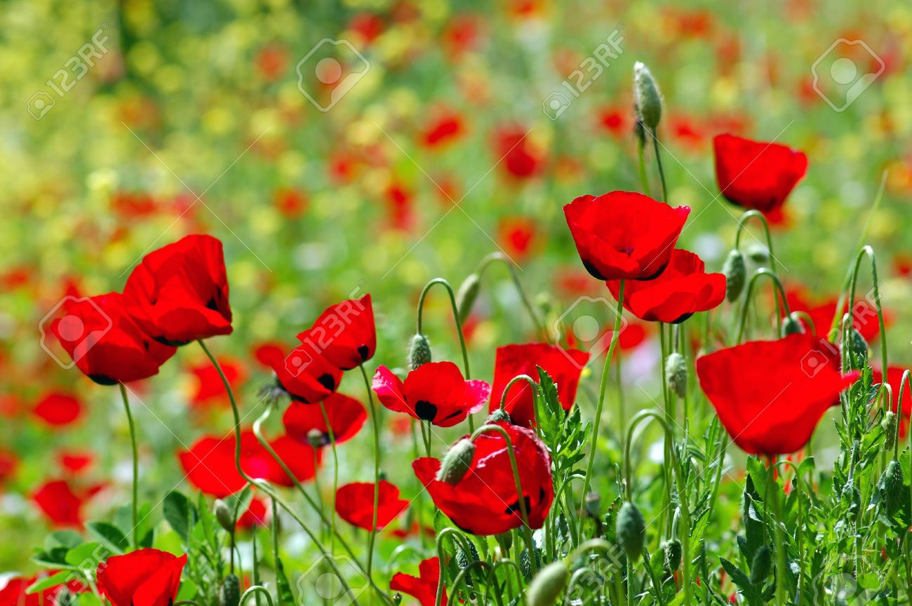 Field of blooming poppy flowers spring season background stock field of blooming poppy flowers spring season background stock photo 4835949 dhlflorist Images
