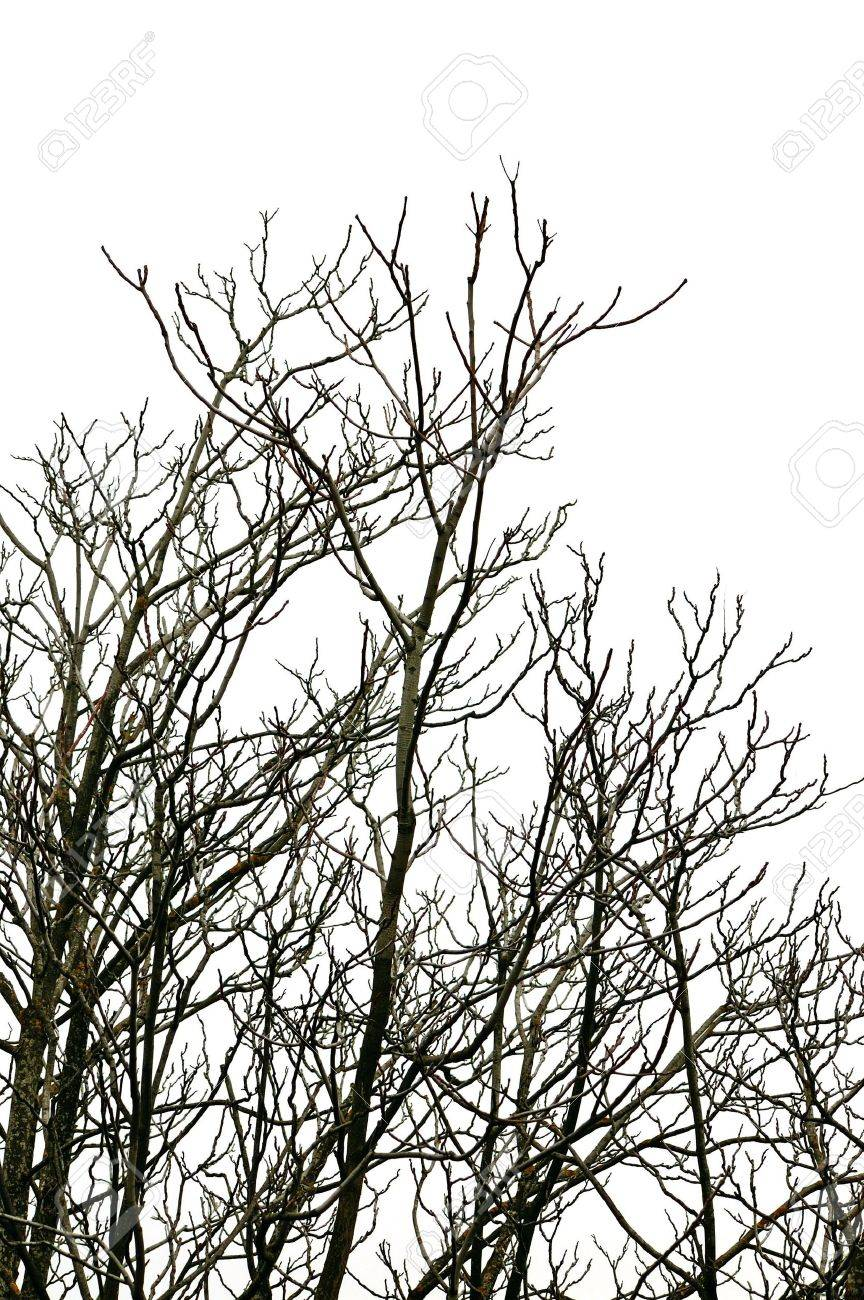 Leafless deciduous tree branches on white background. Stock Photo - 6559468