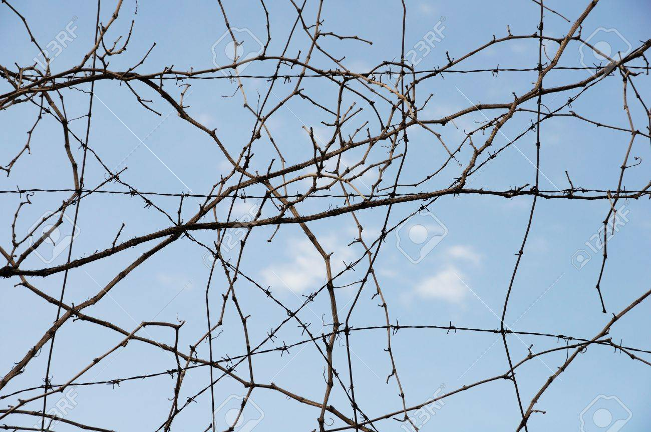 Vine Plant Branches And Barbed Wire. Abstract Background. Stock ...