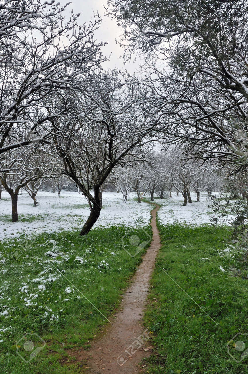 Footpath in almond tree forest. Snow winter landscape. Stock Photo - 9217136