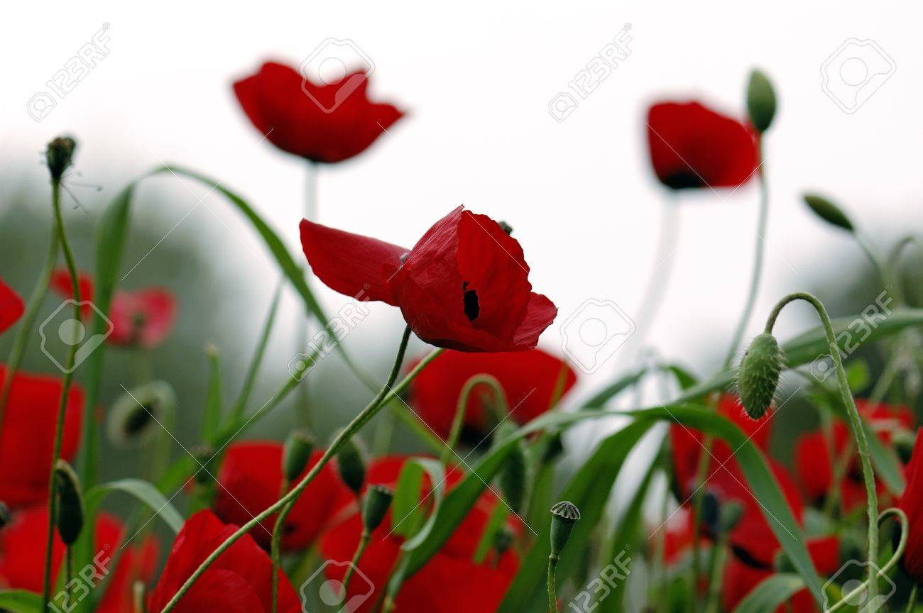 Red poppy flowers in a field spring season background stock red poppy flowers in a field spring season background stock photo 9316223 dhlflorist Images