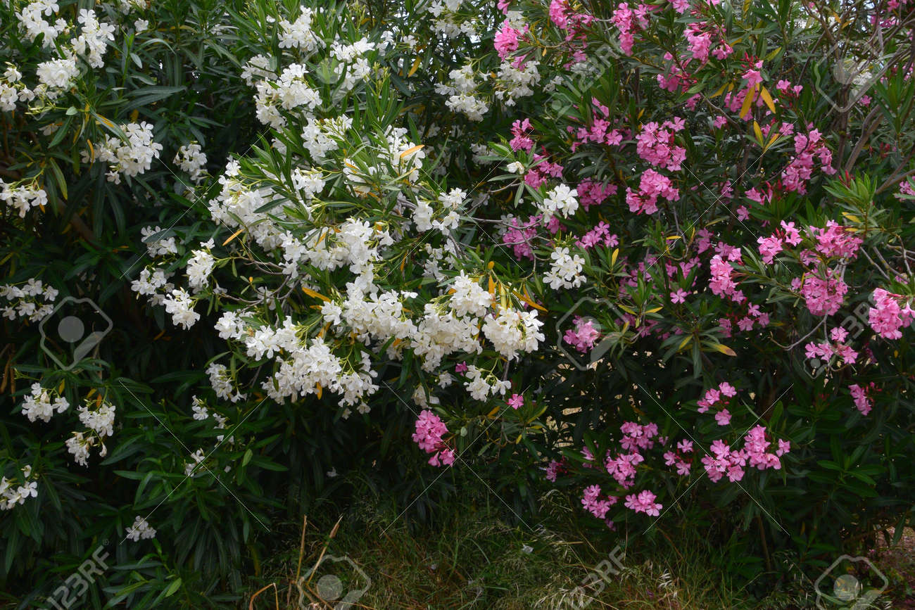 Nerium oleander daphne shrubs with pink and white flowers poisonous nerium oleander daphne shrubs with pink and white flowers poisonous plant in bloom stock mightylinksfo Gallery