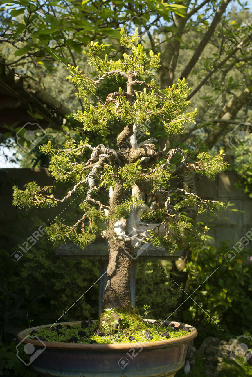 conifer bonsai tree with nches wiring process in the garden on