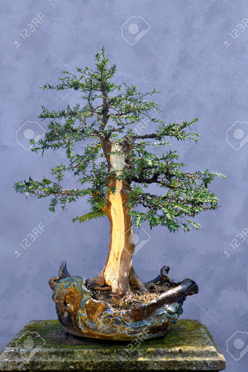 Strange Bonsai Tree Yew Taxus Baccata In Unique Hand Made Pot Stock Photo Wiring Digital Resources Antuskbiperorg