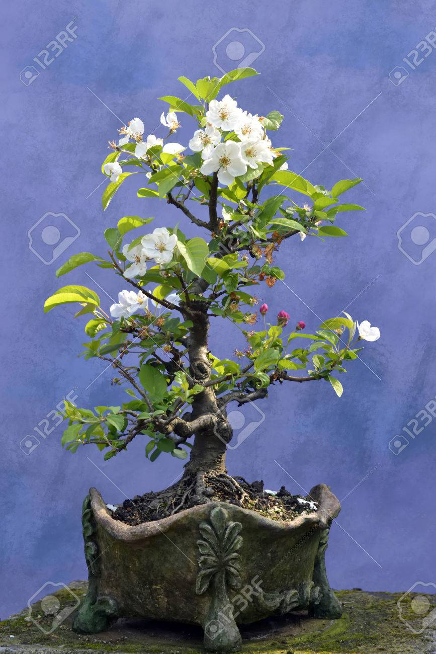 Bonsai Tree Apple Malus Domestica Blossoming Stock Photo Wiring Yew 30722535