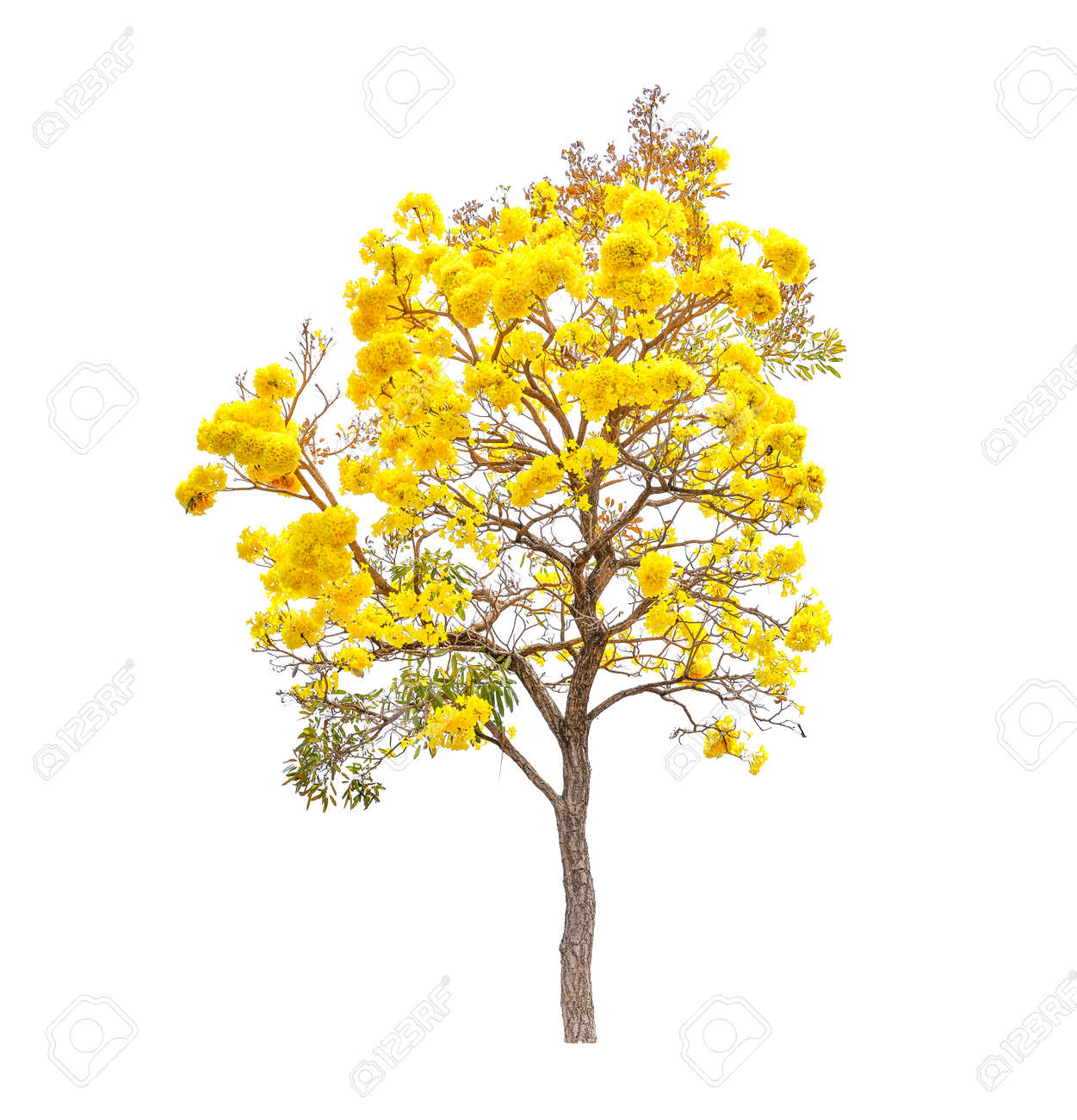 Yellow Flowers Tree Tabebuia Isolated On White Background Stock