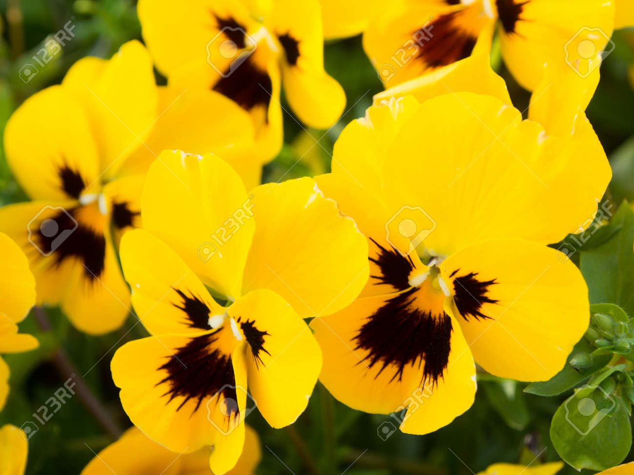 Yellow Pansy Flowers In The Park Stock Photo Picture And Royalty