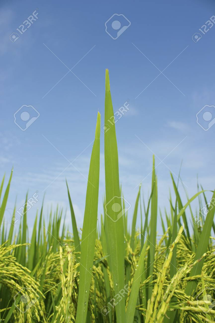 Rice field and blue sky background Stock Photo - 16082179