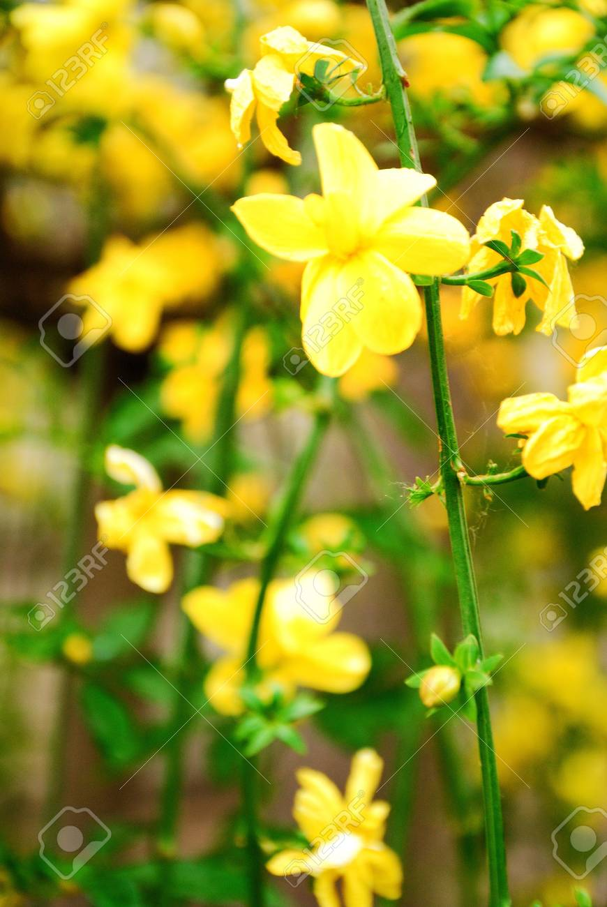 Soft Focus Close Up Of Yellow Flowers Stock Photo Picture And