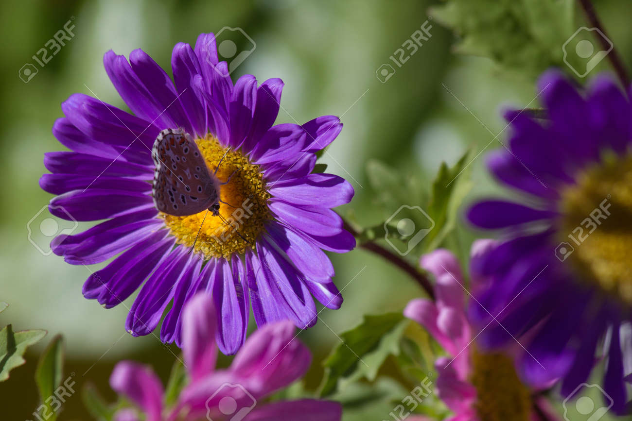 Flower daisy purple or violet petals and yellow center where stock flower daisy purple or violet petals and yellow center where the inn a butterfly polyommatus with mightylinksfo