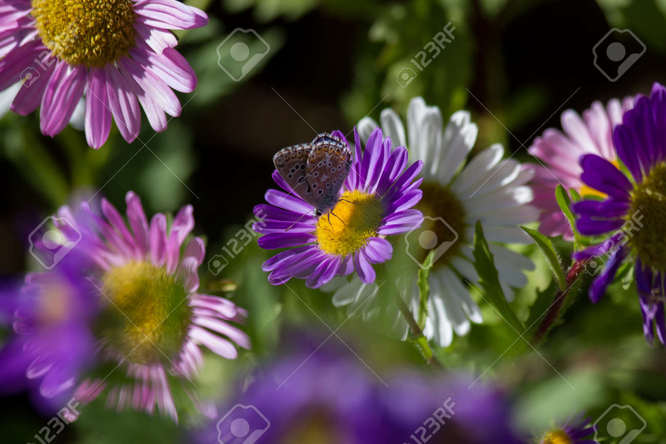 Daisy Flower purple or violet and white where the inn a butterfly