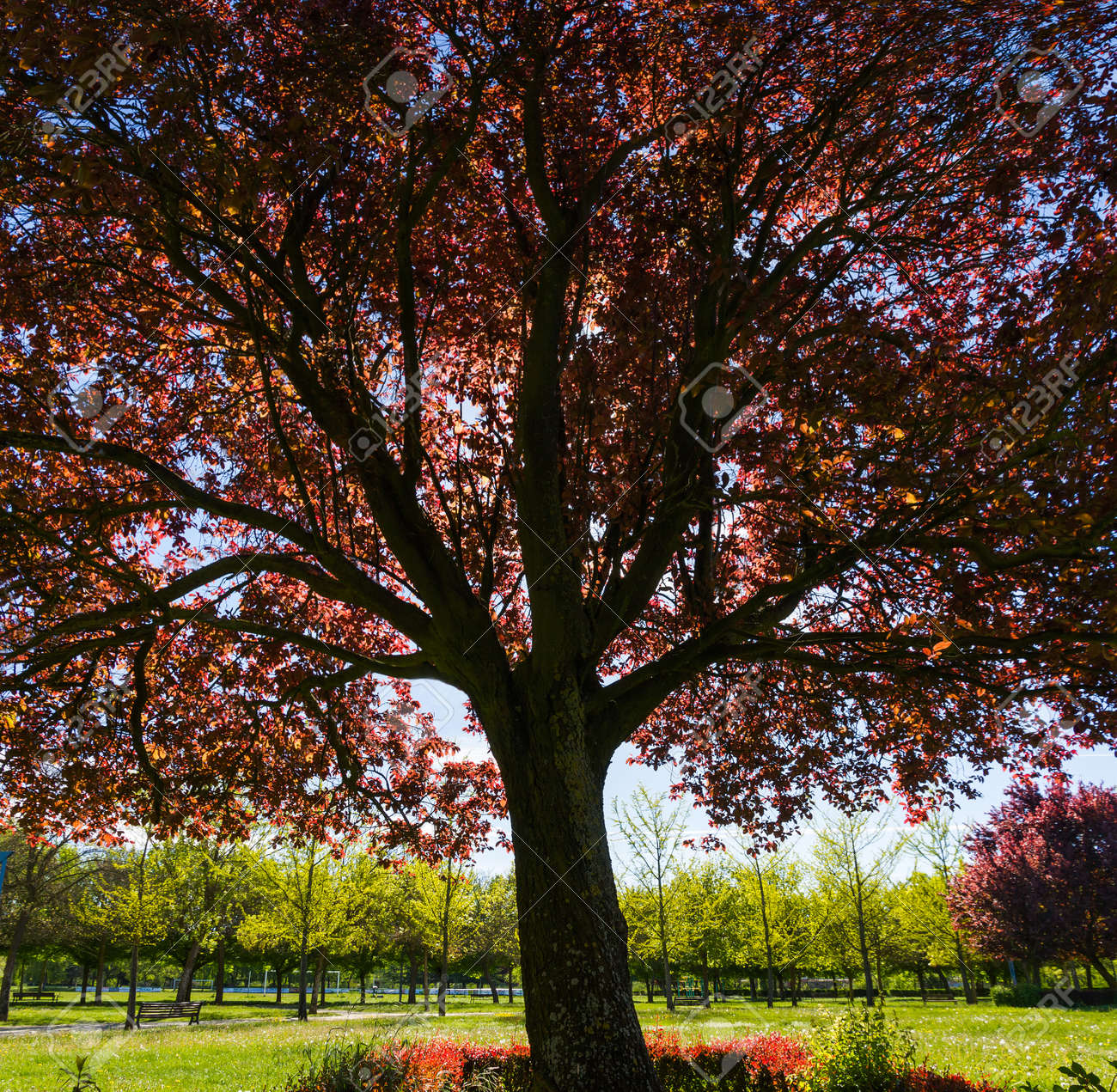 Cup Or Red Plum Tree Prunus With Reddish Leaves Park In Spring