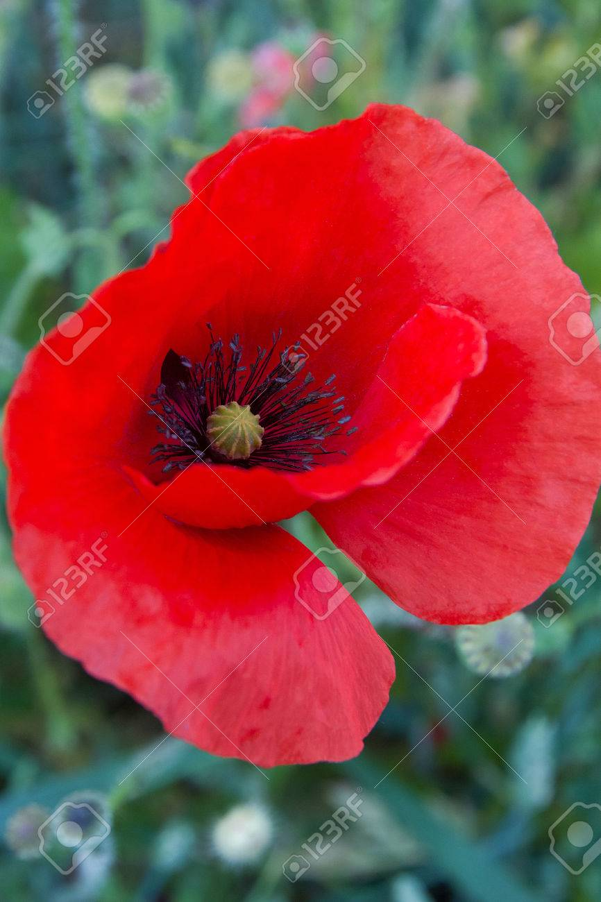 Detail Of The Corolla Of A Wild Poppy Flower Leaving Clearly Stock