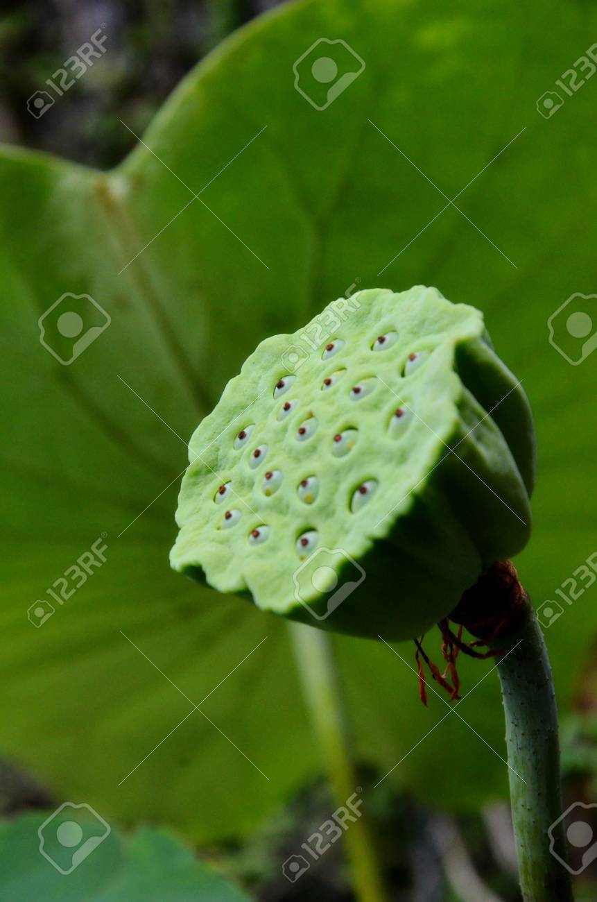 Lotus Flower Seeds Stock Photo Picture And Royalty Free Image