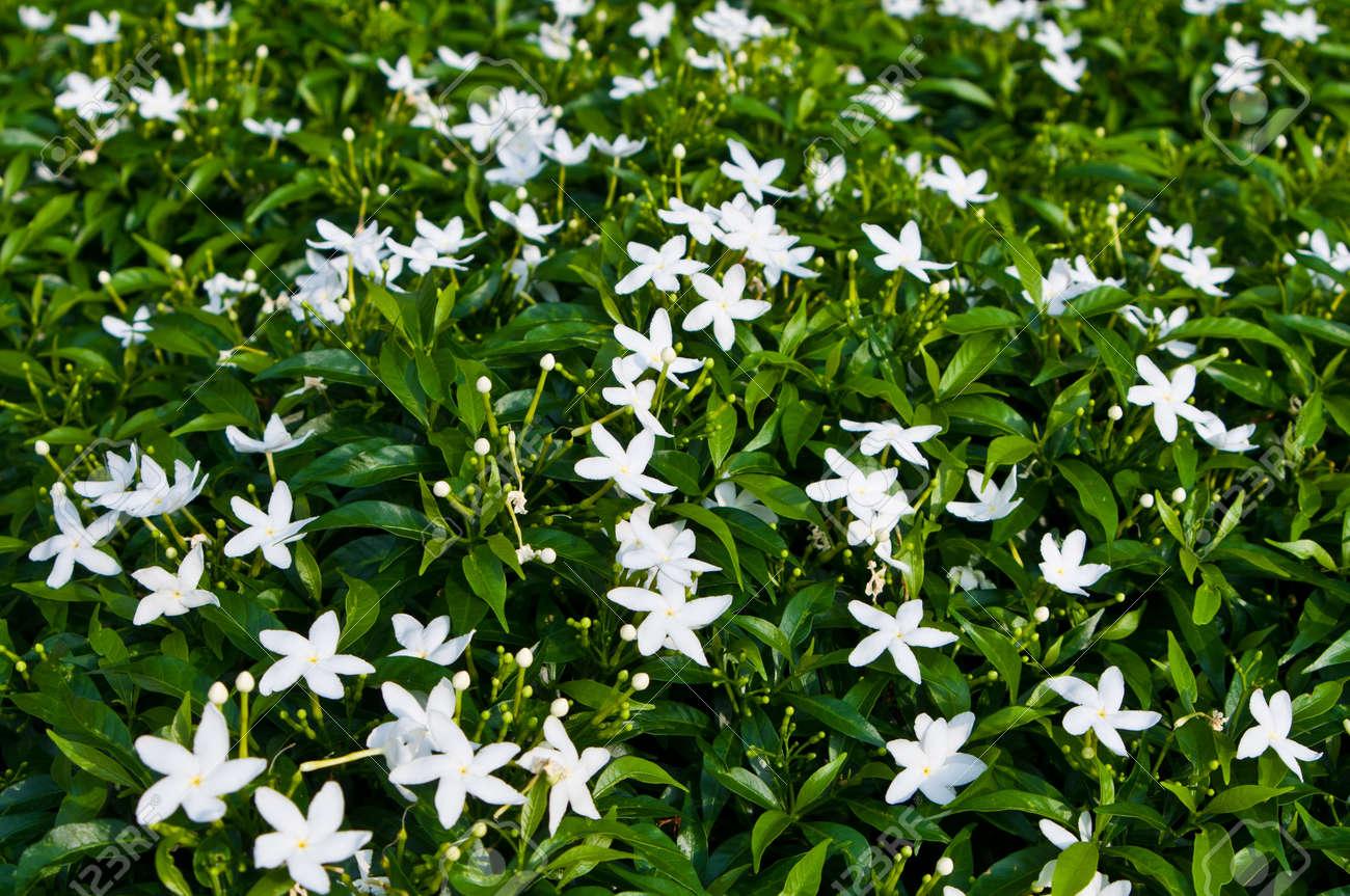 white perennial flowers  flower, Natural flower