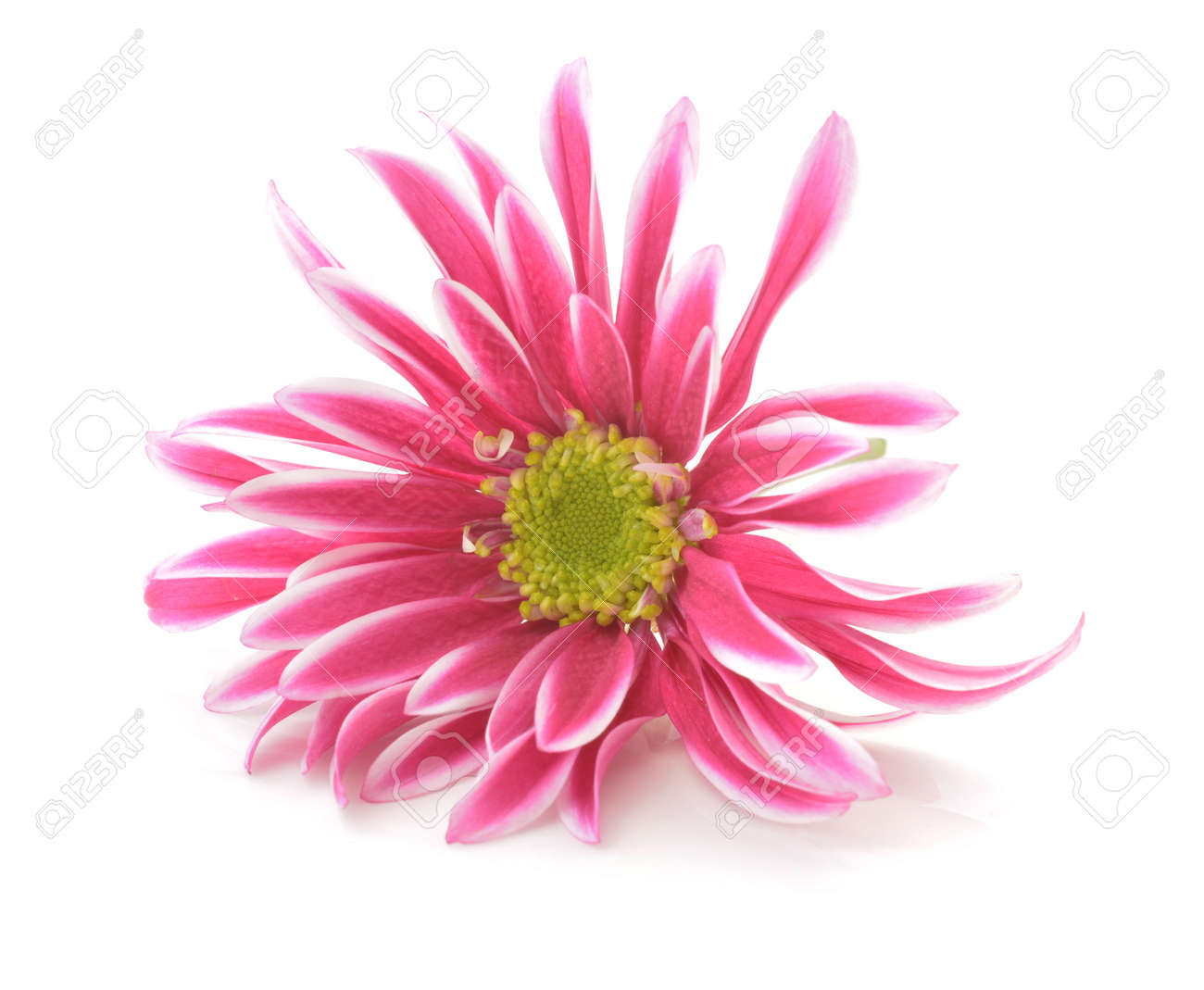 Pink Flower With Long Thin Petals A Yellow Center Stock Photo