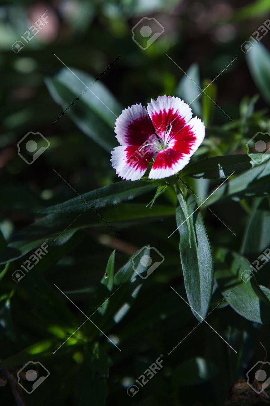 Red and white flower of sweet william dianthus barbatus stock photo red and white flower of sweet william dianthus barbatus stock photo 14471888 mightylinksfo