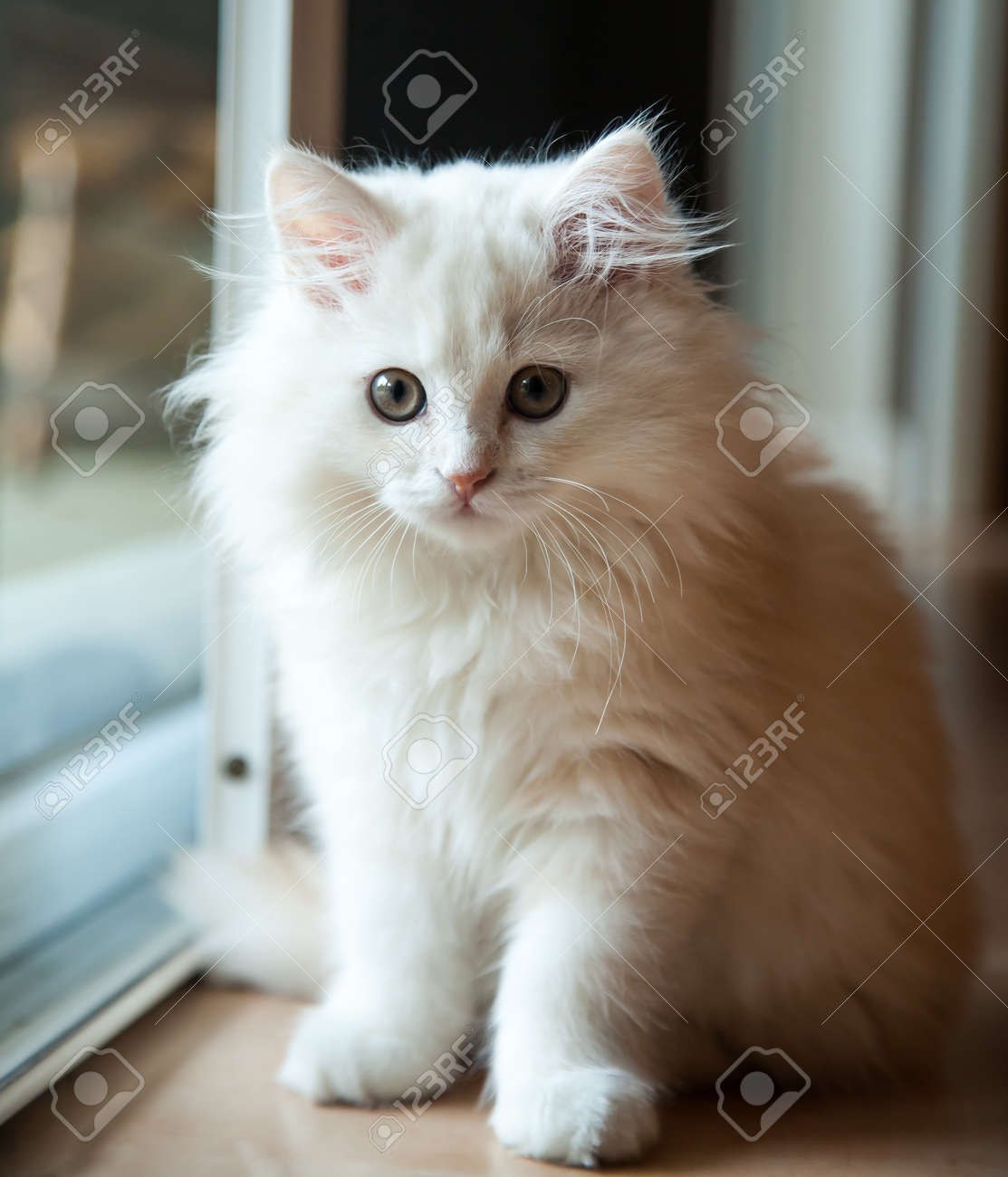 White long-haired pedigree kitten inside waiting at the door Stock Photo - 25831341 & White Long-haired Pedigree Kitten Inside Waiting At The Door Stock ...