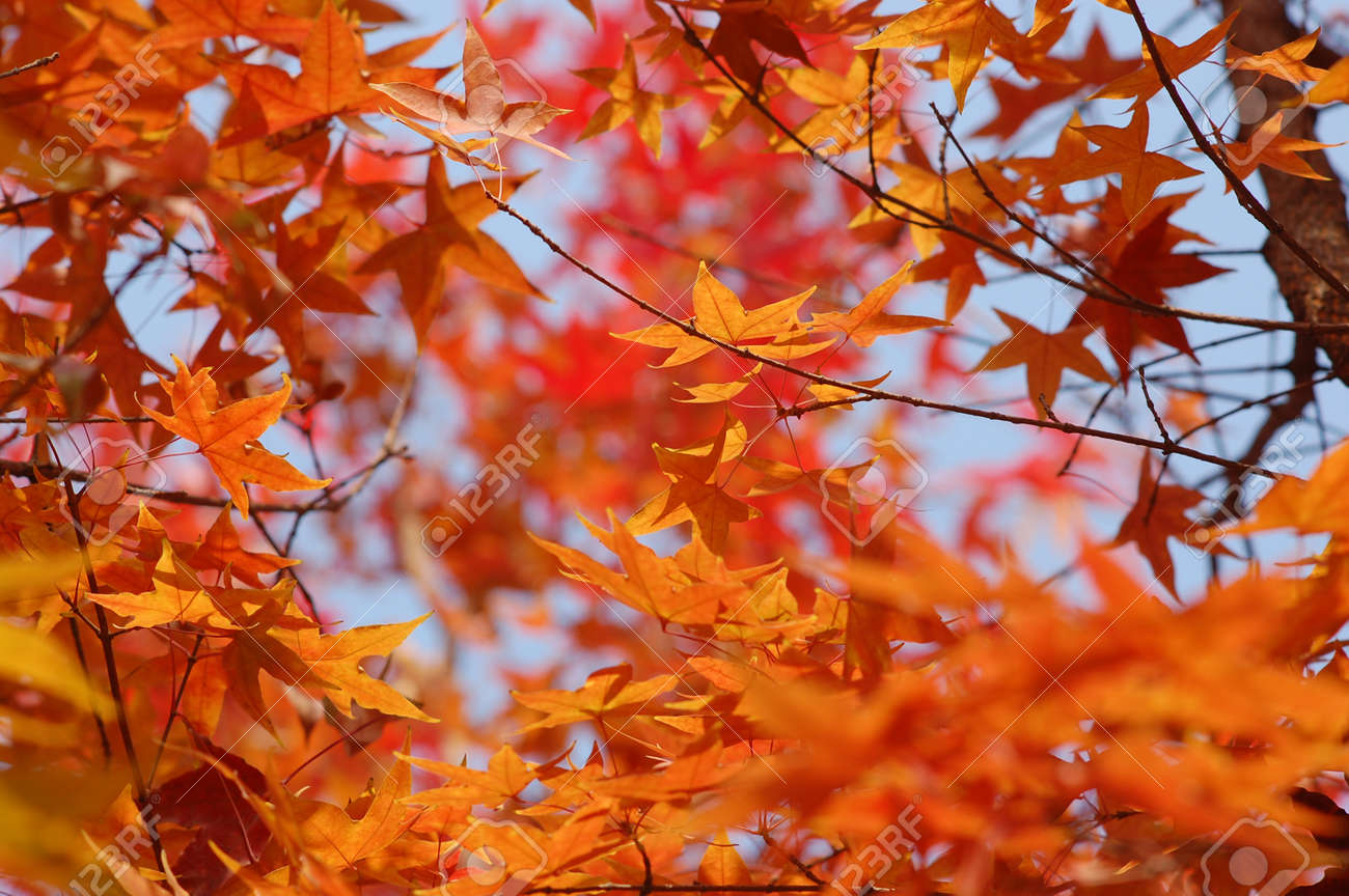 In Fall Maple Tree Leaves Turn Yellow Orange And Red Stock