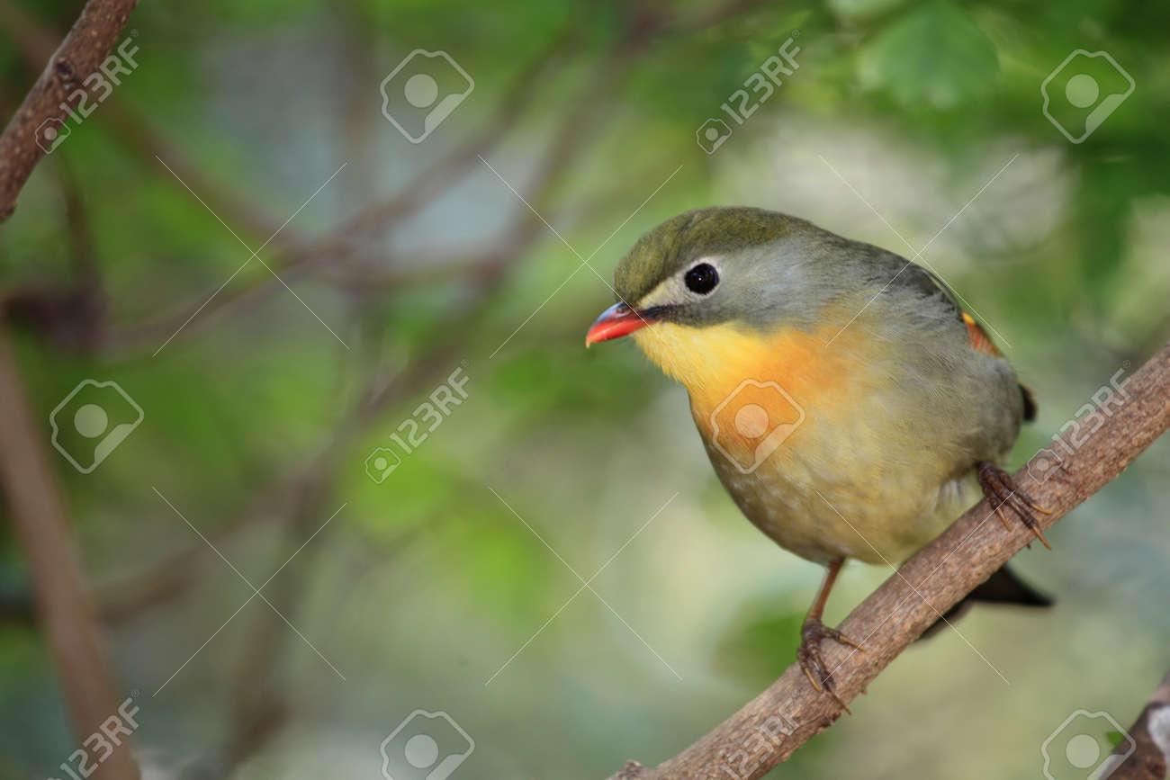 Nightingale Chinese Nightingale Bird