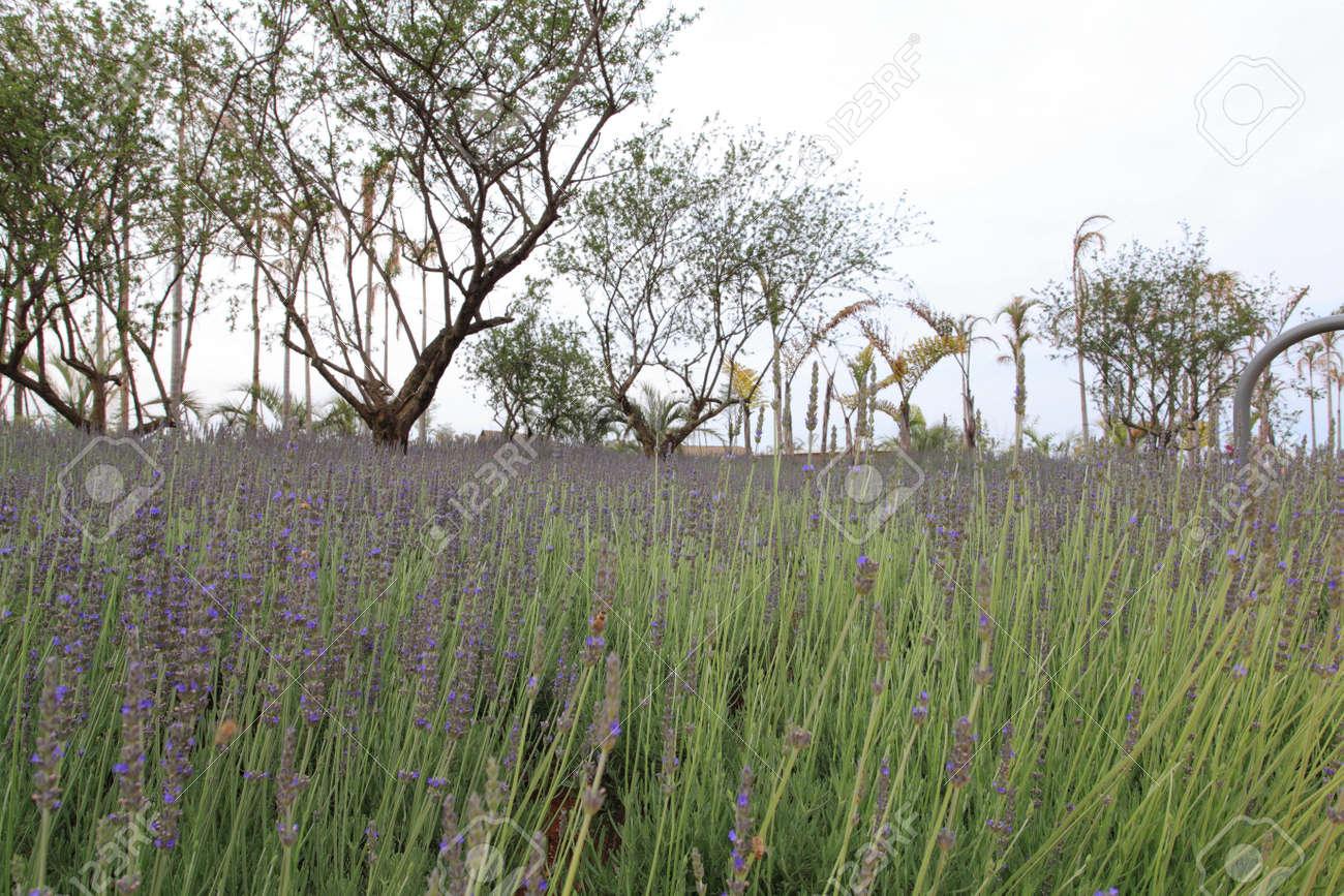 lavender field Stock Photo - 10033601