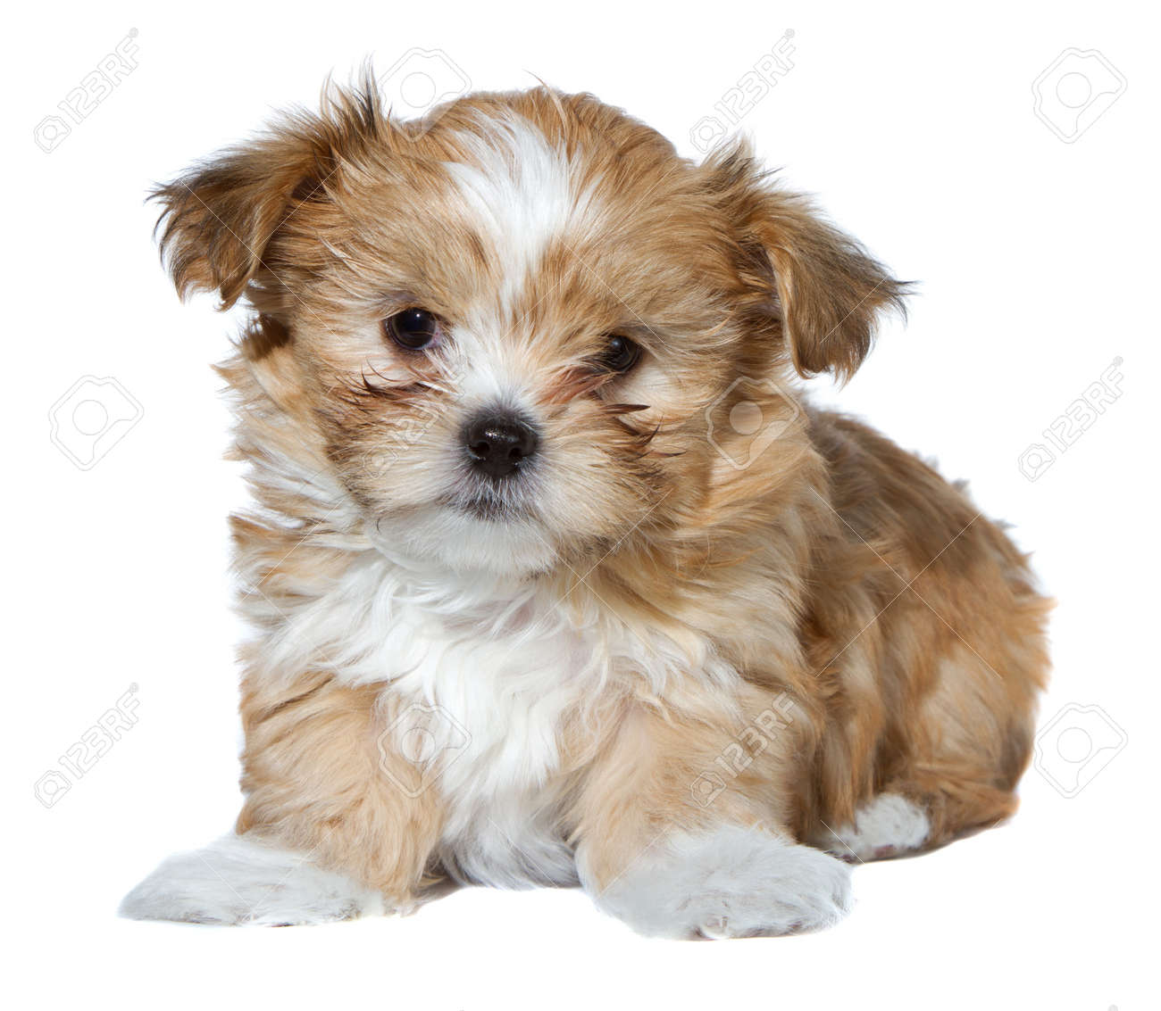 Best Fluffy Brown Adorable Dog - 12157520-a-cute-brown-and-white-fluffy-puppy-isolated-on-a-white-background  Pic_975466  .jpg