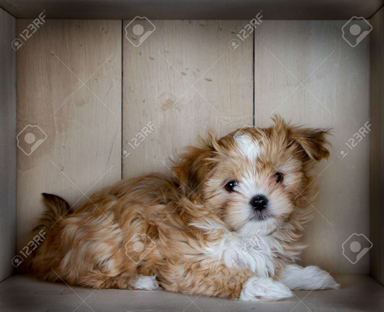 A Cute Small And Fluffy Brown And White Dog Laying Down In A Stock