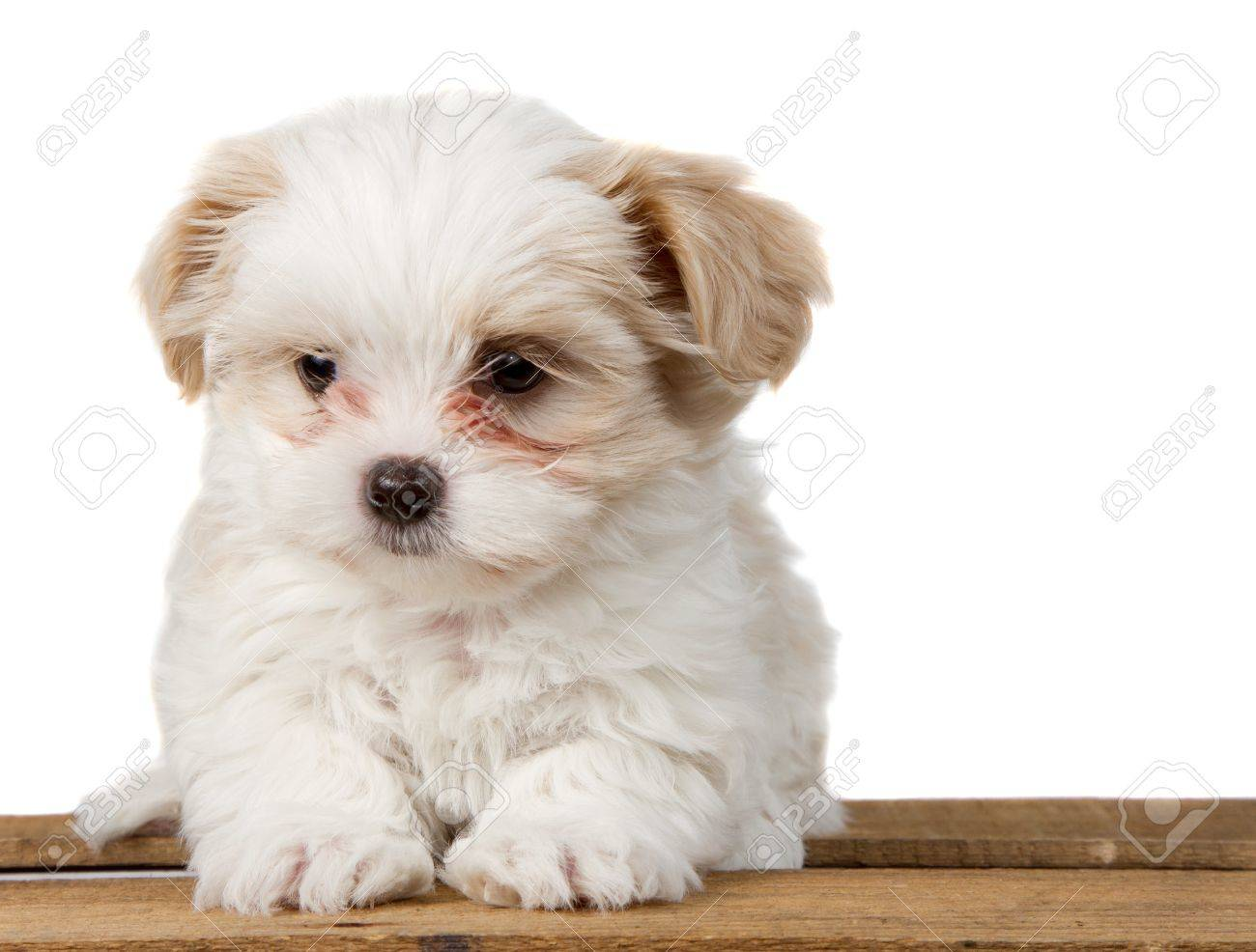 A Small White Shih Tzu Puppy Sitting On A Plank With A Sad Look