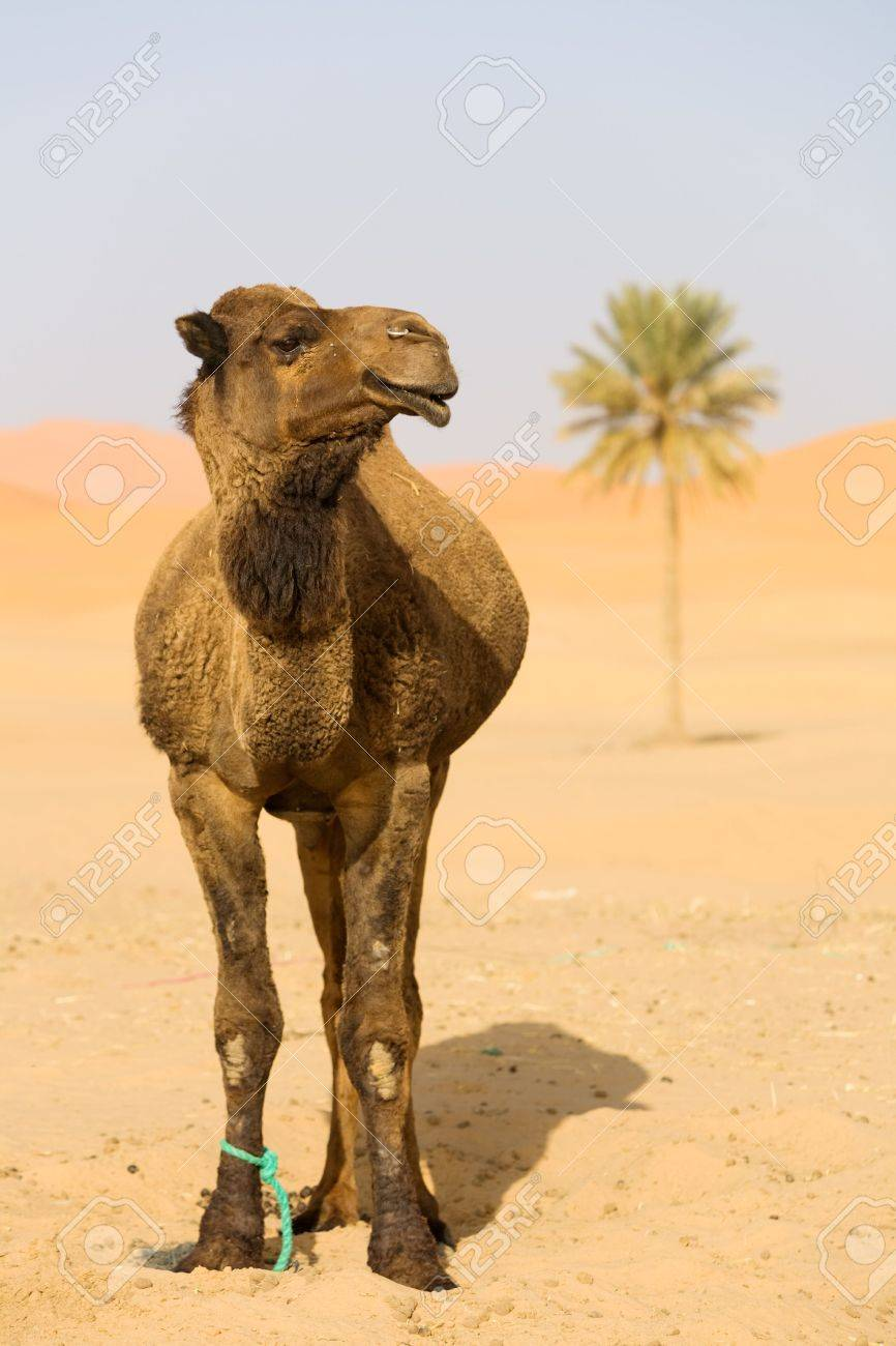 Lone Camel in the Desert sand dune and palm Stock Photo - 2972583