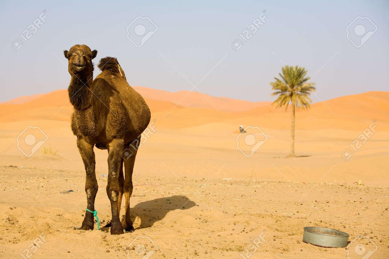 Resultat d'imatges de desierto con camellos