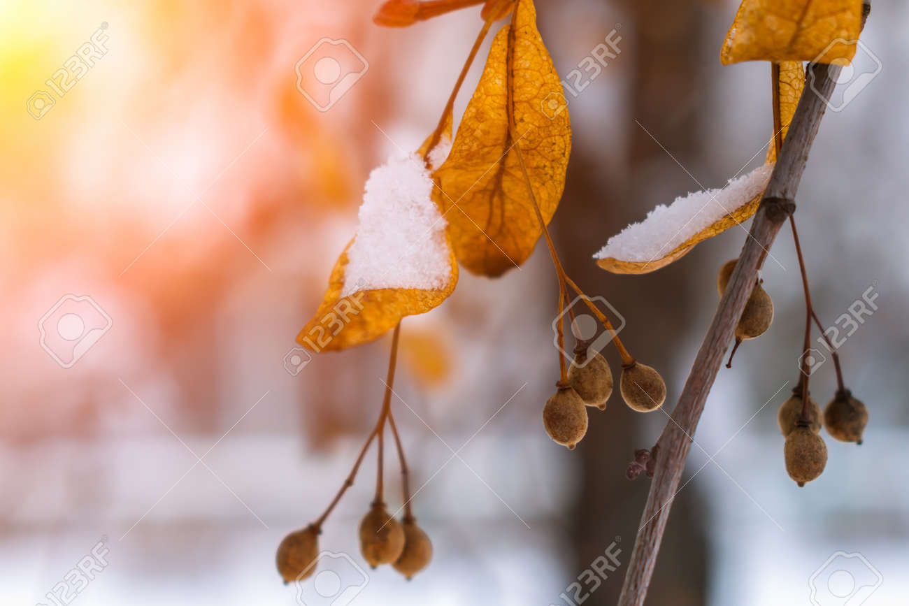 Seeds and dry leaves of linden tree in the snow illuminated by the bright sun - 164582971