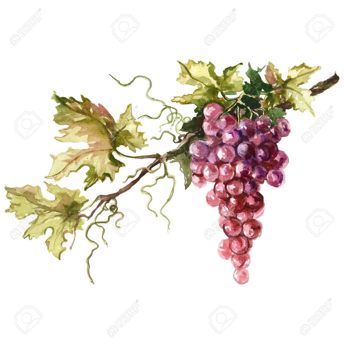 Watercolor illustration of grape branch. Raster design element. - 67056481