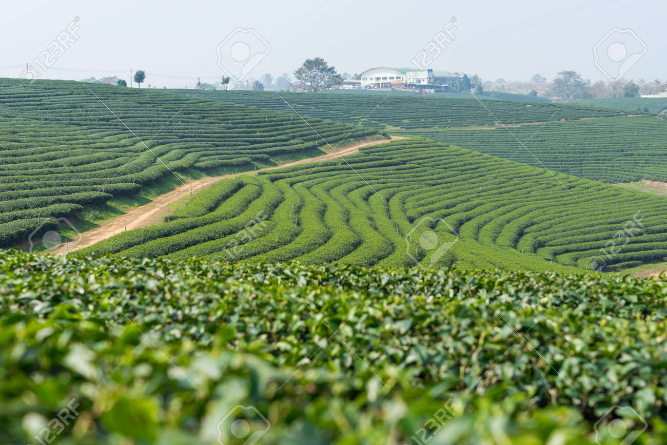 Green tea terrace landscape, Chiang Rai - 54689432
