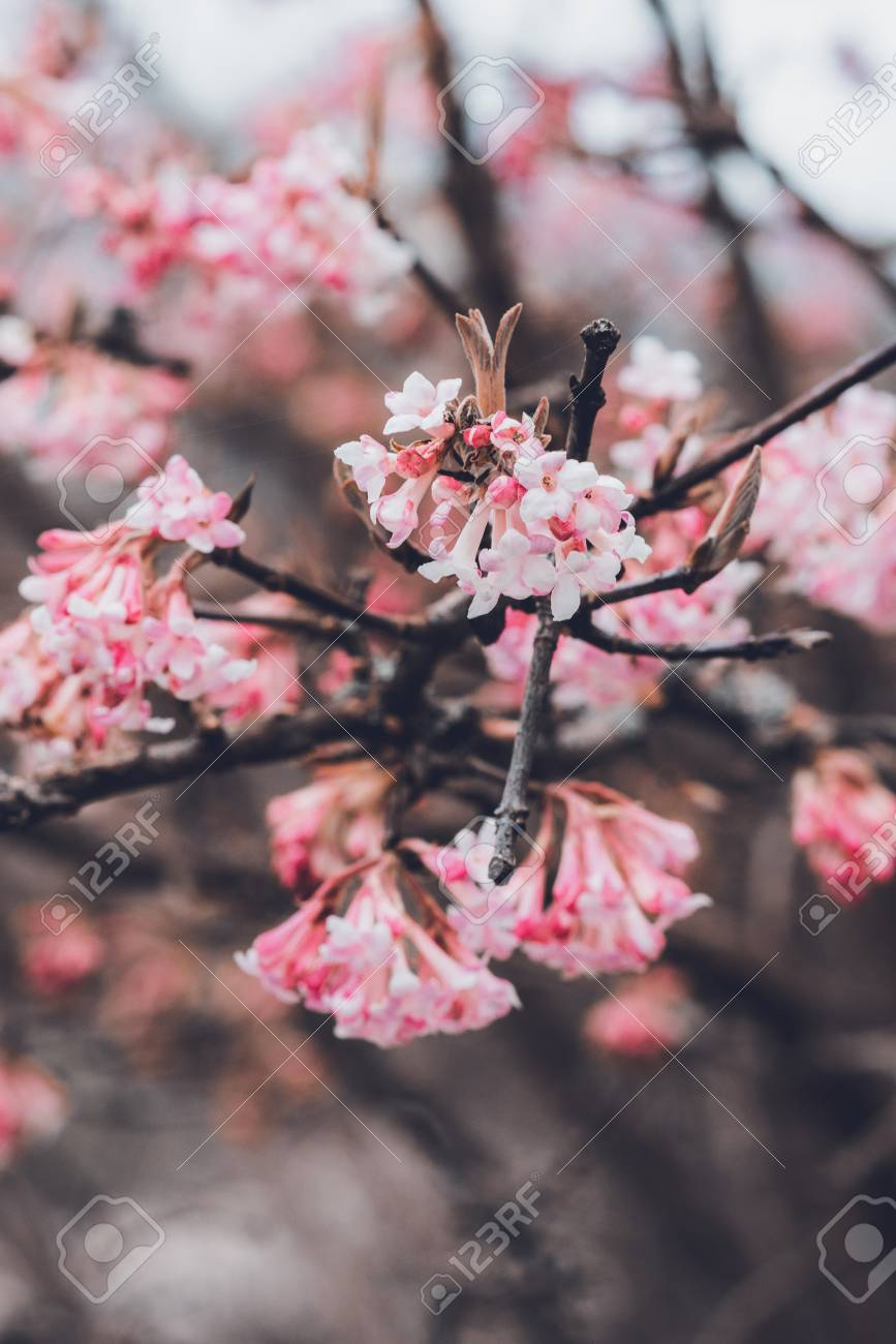 Dainty Pink Blossom On A Tree Branch With Clusters Of Tubular