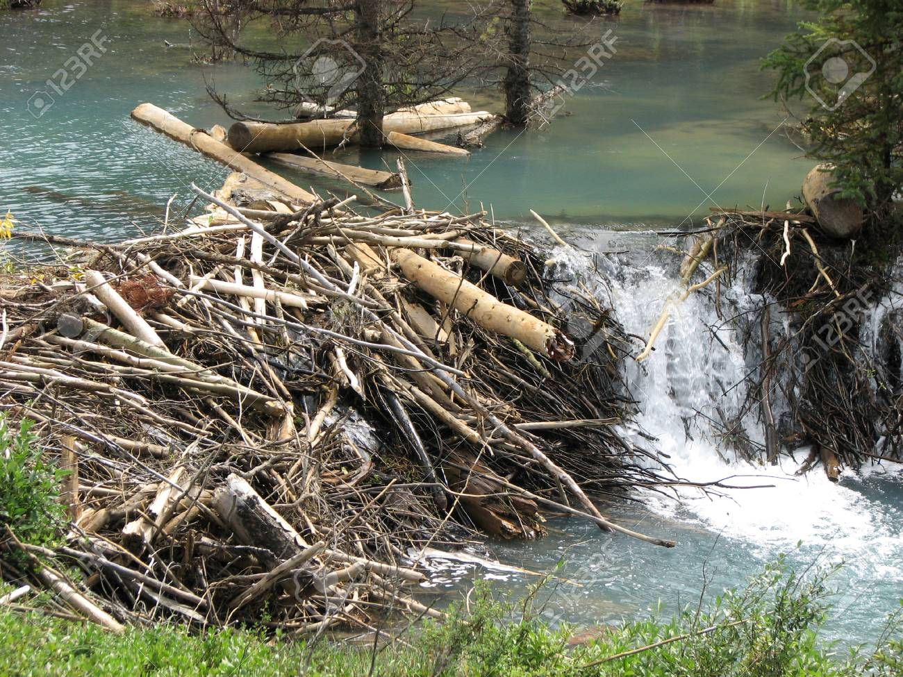 beaver dam stock photos royalty free beaver dam images and pictures