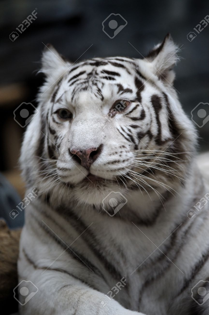 White Tigress Stock Photo, Picture And Royalty Free Image. Image ...