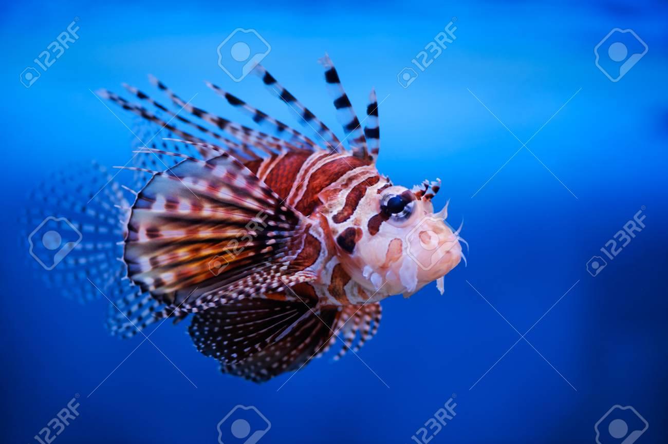 Lionfish (dendrochirus zebra) in a Moscow Zoo aquarium Stock Photo - 8101033