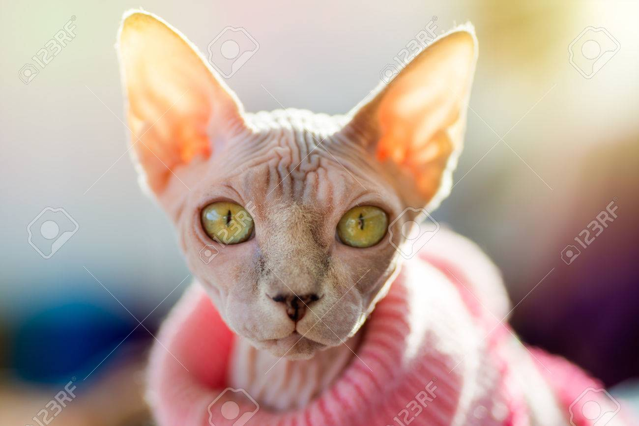 Animals Sphynx Cat Wearing Pink Pullover Sun Shining Through