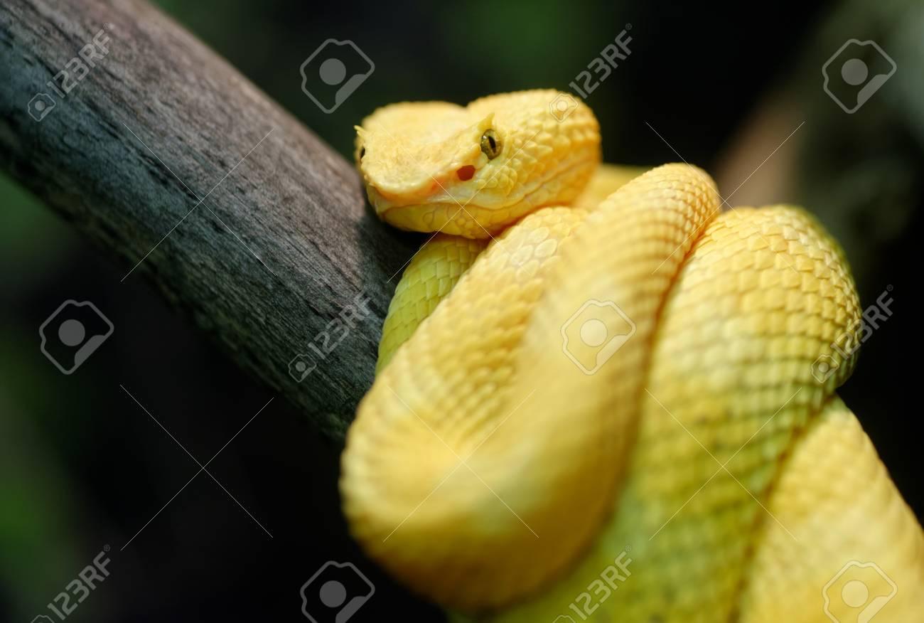 Animals Yellow Eyelash Viper Bothriechis Schlegelii On A Tree
