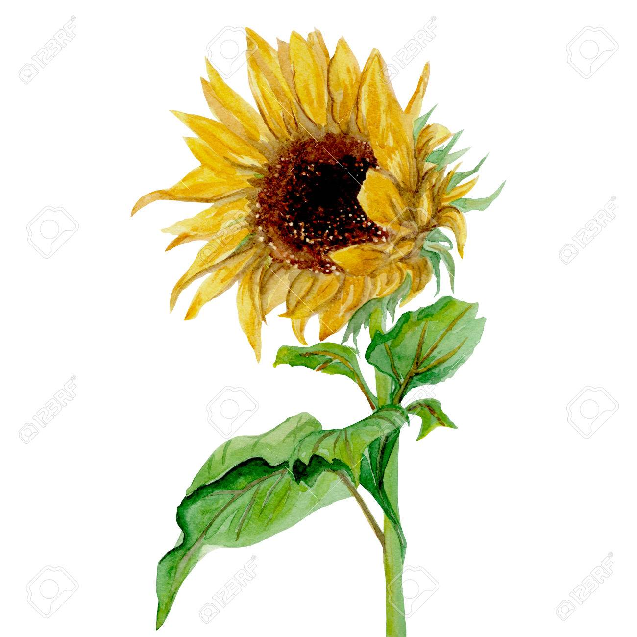 Isolierte Gelben Sonnenblumen Gemalt In Aquarell Auf Einem Weißen ...