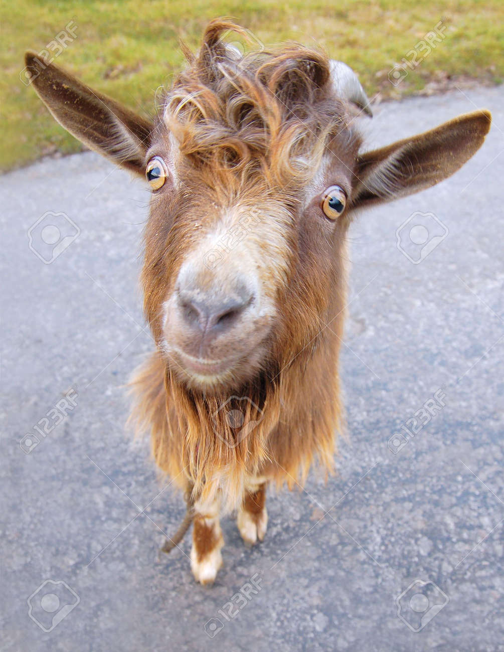 funny little red billy goat in a road stock photo picture and