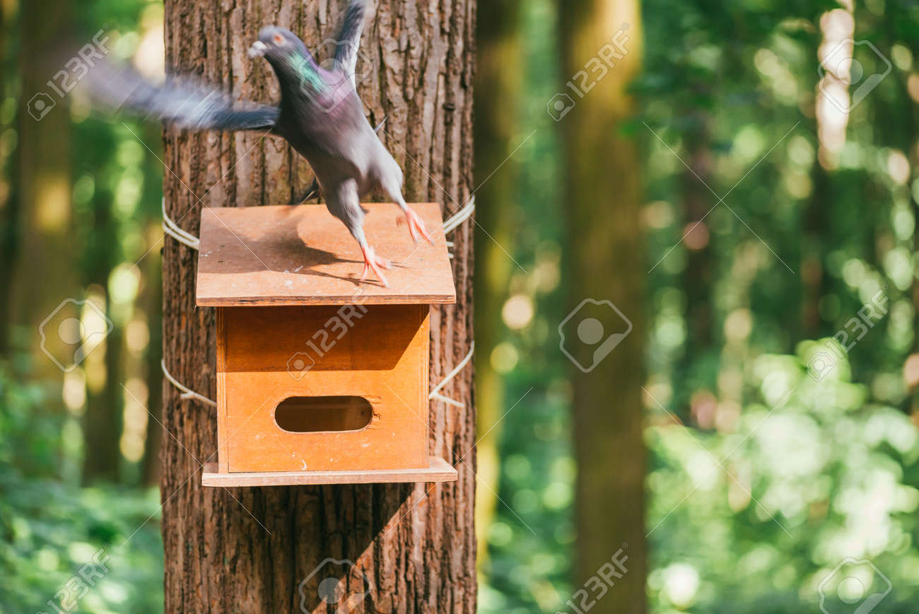 Gray Pigeon Takes Off From The Wooden Feeder Nailed To The Trunk