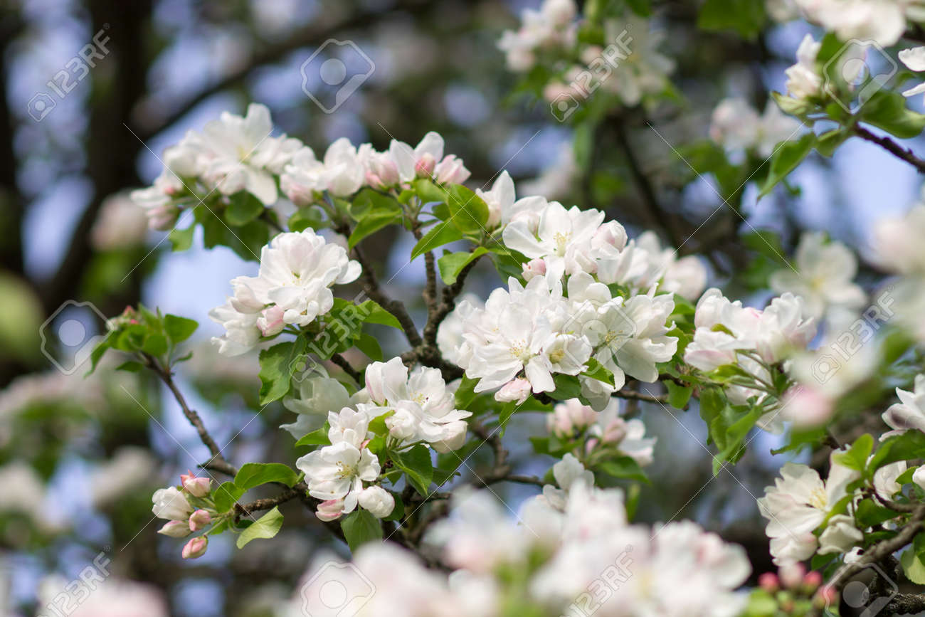 Blossoming apple tree twig with white flowers spring fruit tree blossoming apple tree twig with white flowers spring fruit tree blooming background stock photo mightylinksfo
