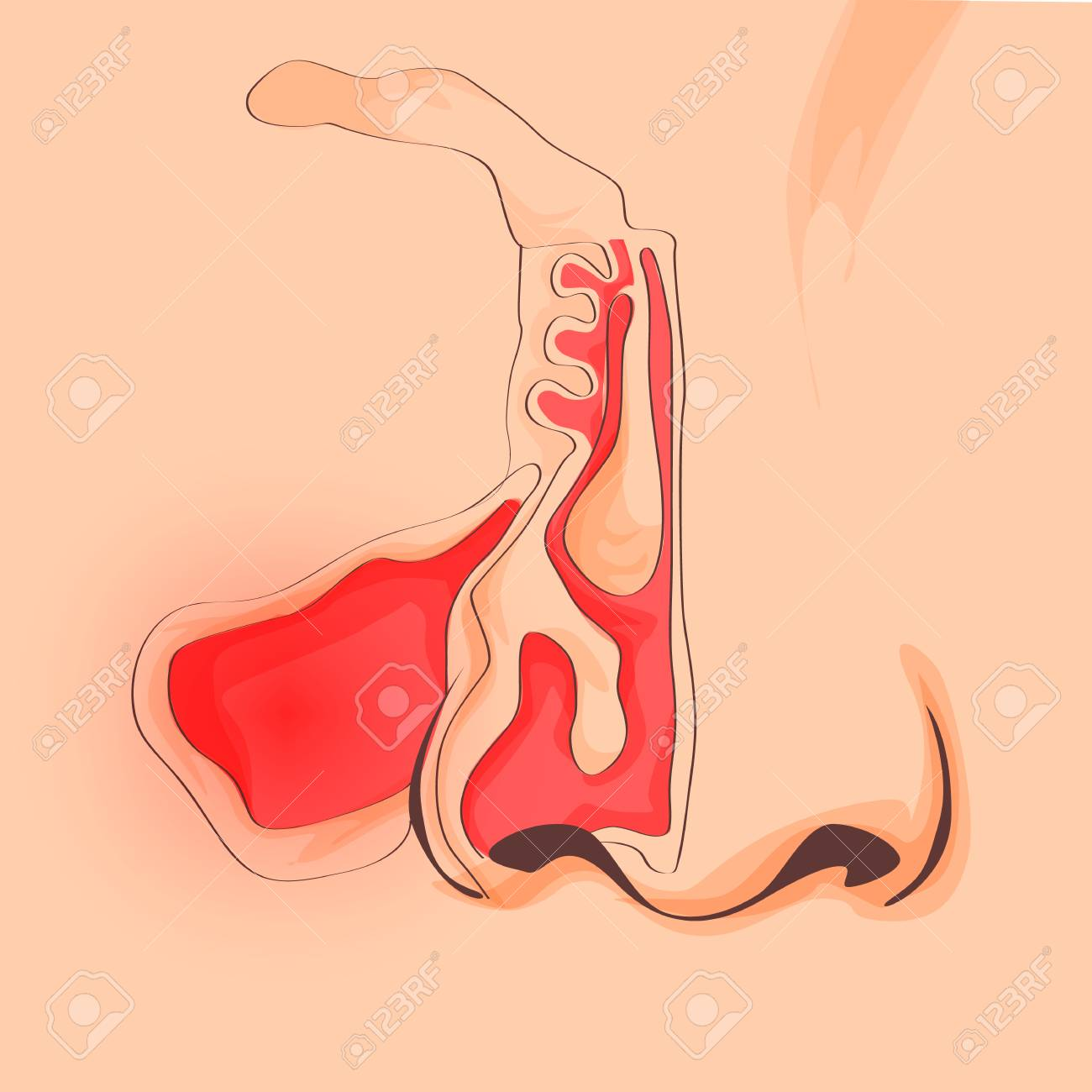 Nasal Sinus. Healthy And Medicine Vector. Anatomy. Nose ...