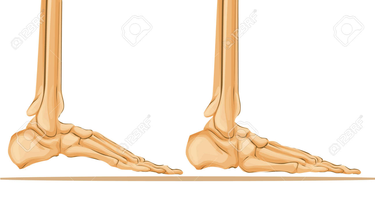 Foot Bone Anatomy Medical Art Illustration. Royalty Free Cliparts ...