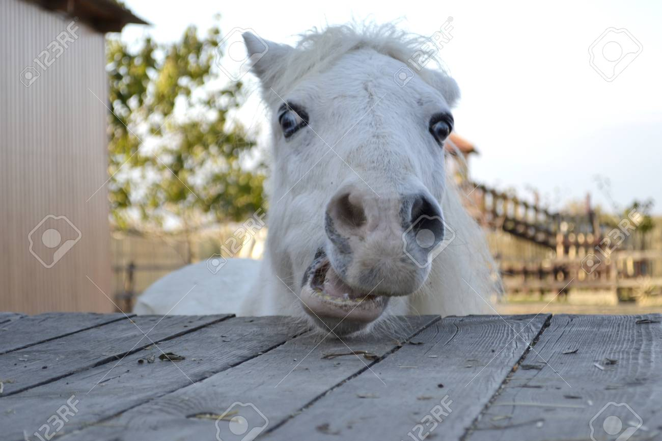 White Horse Portrait Horse With Blue Eyes Ranch Odessa Stock Photo Picture And Royalty Free Image Image 93971838