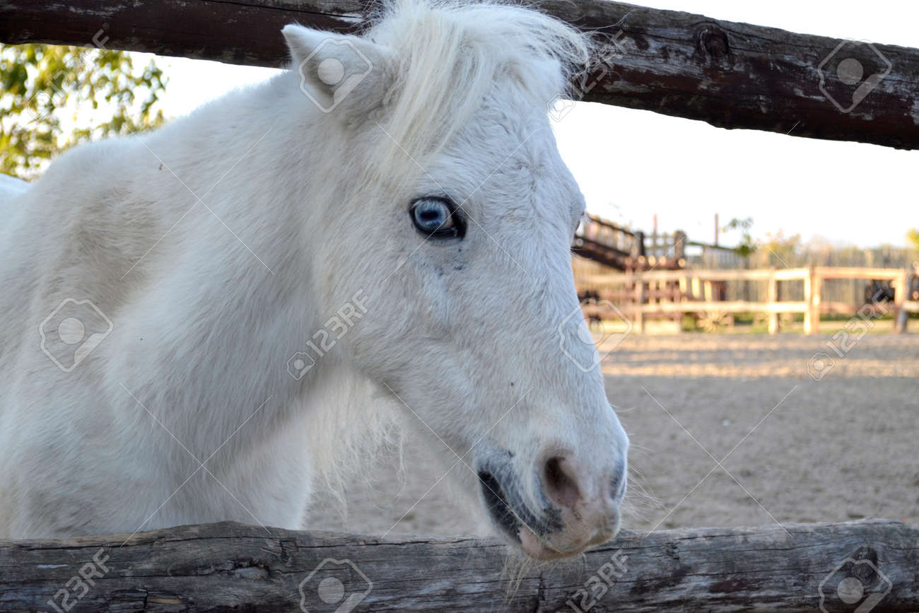 White Horse Portrait Horse With Blue Eyes Ranch Stock Photo Picture And Royalty Free Image Image 93954056